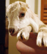 goat kid peeks out